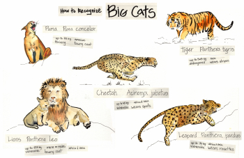 Big Cats Infographic